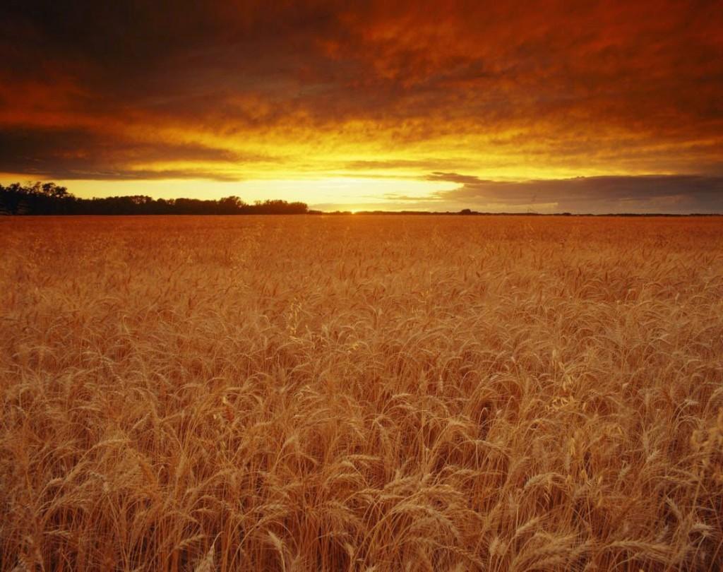 Campo de trigo 4